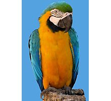 Curious macaw Photographic Print