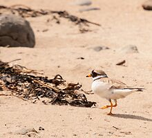 Ringed plover, Fethard-on-sea, County Wexford, Ireland by Andrew Jones