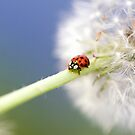 Ladybugs Dandelion by Falko Follert