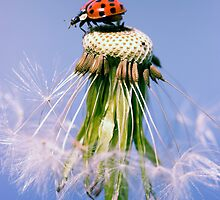 Ladybugs & Dandelion by Falko Follert