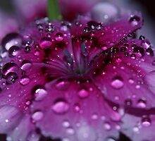 Pretty Dianthus  by prettypics75