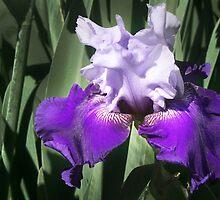 Glory of the Iris by Nadya Johnson