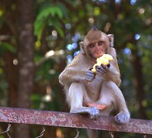 Macaque monkey tucking into a piece of fruit by mechelle142