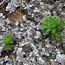 Lichen & Succulents by Hans Bax