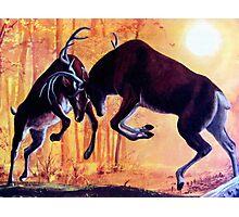 Deer Fight  Photographic Print