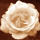 Shiela's Perfume Floribunda Rose in Sepia by Robert Armendariz
