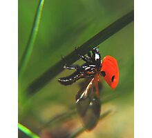 Ladybird just before flight Photographic Print