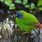 Blue faced parrot finch by cherylc1