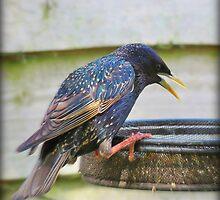Startling Starling!  by J J  Everson