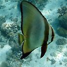 BAT FISH by springs