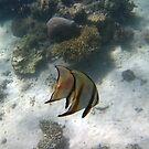 MIRROR IMAGE - 2 BAT FISH SWIMMING by springs
