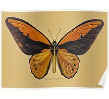 Male Orange Birdwing Butterfly Poster