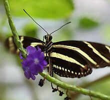 Zebra Longwing by fototaker