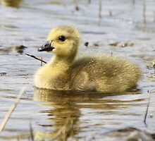 Golden Fluff by Heather King
