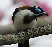 Blue-faced Honeyeater by triciaoshea