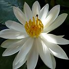 Waterlily by Faye Masters