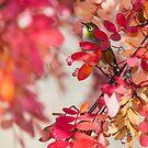 Silvereye - New Zealand by Kimball Chen