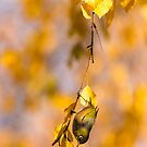Silvereye - Central Otago by Kimball Chen