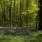 Blanket of Wild Bluebells  by Debbie McGowan CAMMAYC Photography