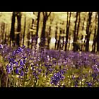 A Bed of Bluebells by Debbie McGowan CAMMAYC Photography