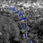 Artistic B&W BlueBells by Debbie McGowan CAMMAYC Photography