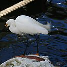 """  Snowy Egret - 2  "" by fortner"
