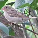 Female House Sparrow by ArtOfE