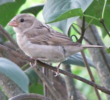 Female House Sparrow by ArtOfE