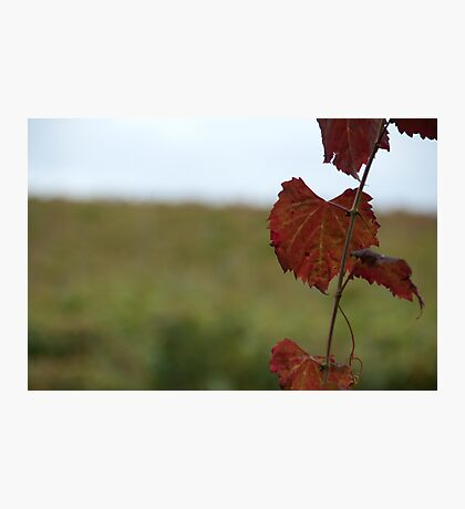 Grape Vine, Margaret River, Western Australia Photographic Print