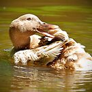 GOLDEN DUCK by Photography by TJ Baccari