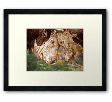 Hereford Bulls Framed Print