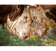 Hereford Bulls Photographic Print