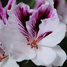 Pelargonium by karina5