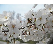 Honeybee On Cherry Blossoms Photographic Print