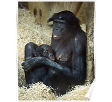 Chimpanzee Mother and baby Poster