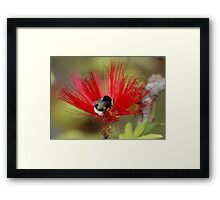 Busy Bumble Bee in a Silk Flower Framed Print