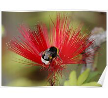 Busy Bumble Bee in a Silk Flower Poster