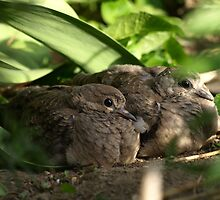 Backyard baby mourning doves by rmks