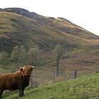 Highland Cow by Fattom25