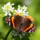 Red Admiral Butterfly by hummingbirds