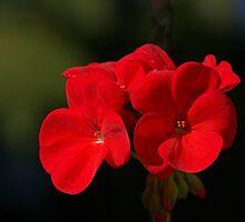Scarlet Geranium.......! by Roy  Massicks