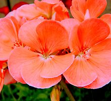 PEACH GERANIUM BLOOM - 2 by ctheworld
