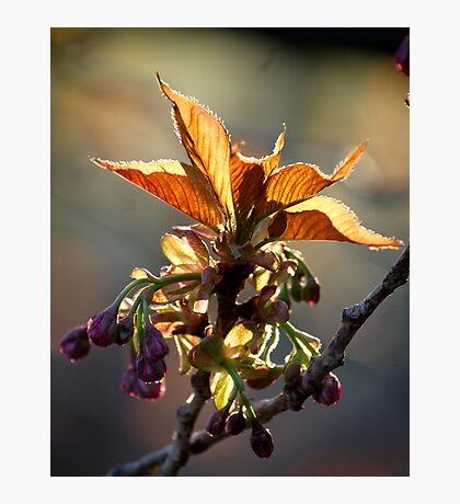 Leaf Protector at Sunset Photographic Print