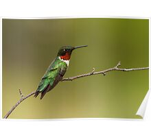 Ruby-throated Hummingbird at Rest Poster