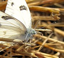 Cabbage White Butterfly by aprilann