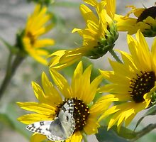 Lively - White Butterfly Visits Sunflowers by Navigator
