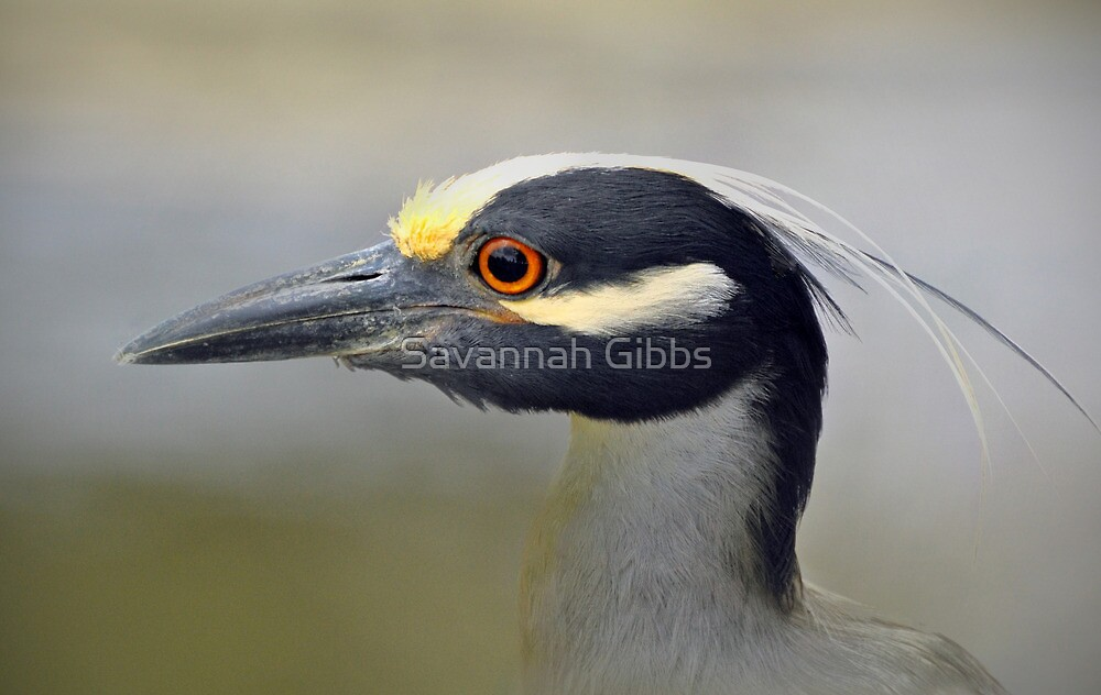 Yellow-crowned Night-Heron  by Savannah Gibbs