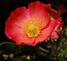 Poppy by Rozalia Toth