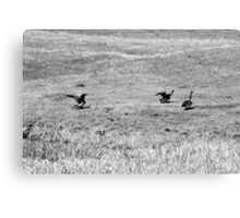 Canadian Geese Preparing for Flight Canvas Print
