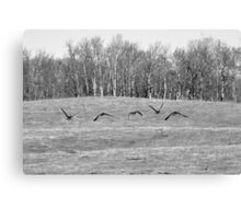 Canadian Geese Flying Low in Field Canvas Print